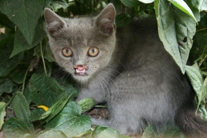 Lazarus Kedilerin Kont Drakulası