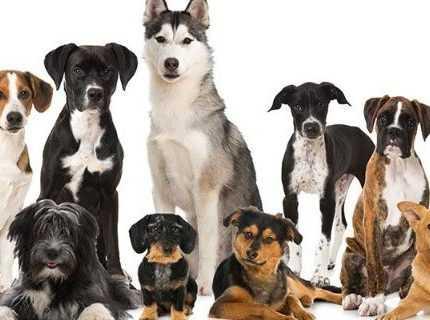 En güçlü ve en akıllı köpek cinslerini biliyor musunuz?