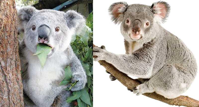 Koalaların ilginç yaşamı