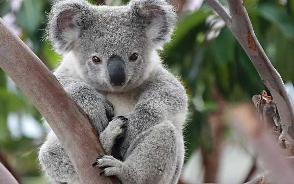 koalaların yaşantısı