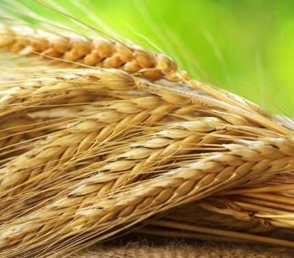 VİOP'ta Buğday Yatırımı Nasıl Yapılır?
