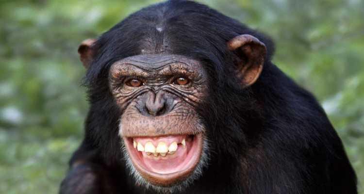 en zeki maymun türü