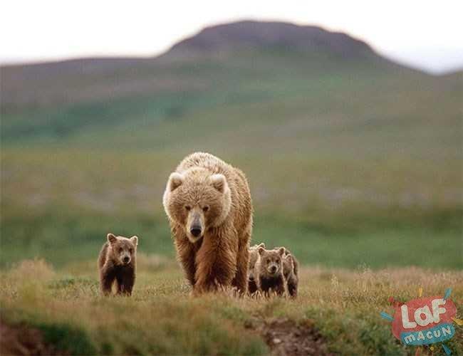 alaska boz ayısı
