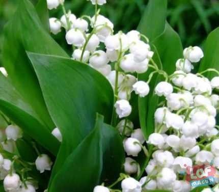 İnci Çiçeği Bitkisi Neye İyi Gelir?