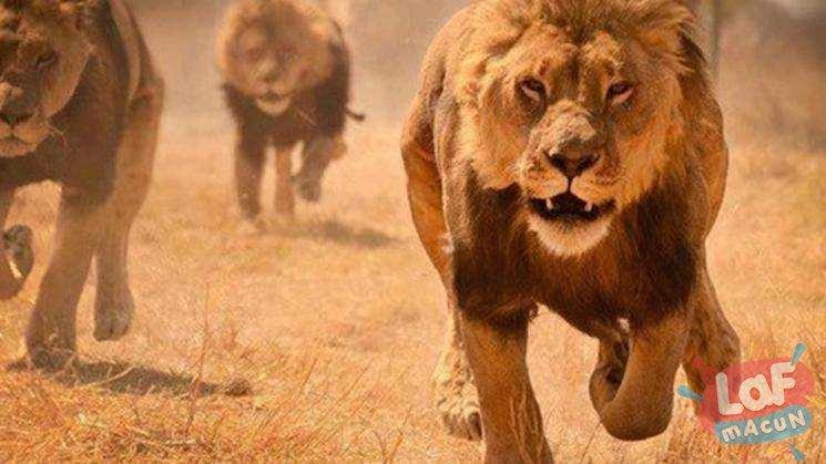 Aslanların Pek Bilinmeyen 5 Özelliği